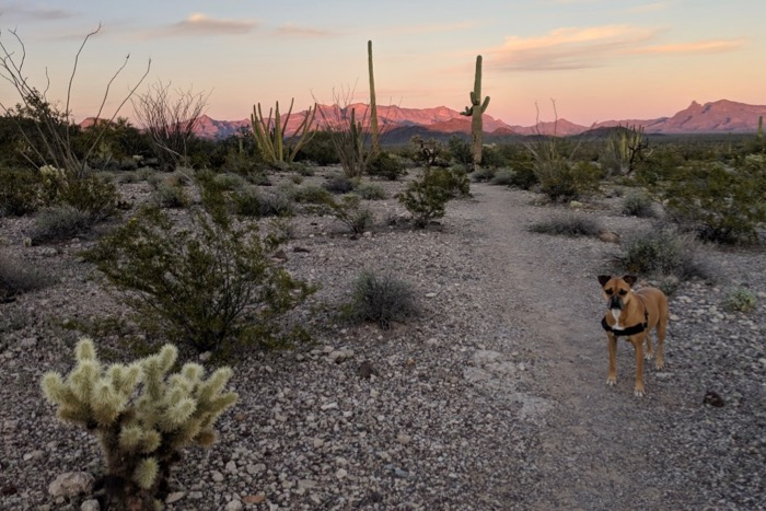 Bugsy on the campground perimeter trail in organ pipe