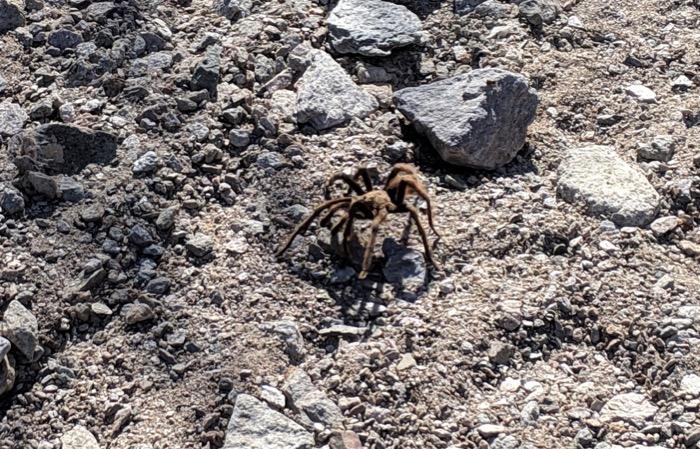 tarantula in Organ Pipe National Monument