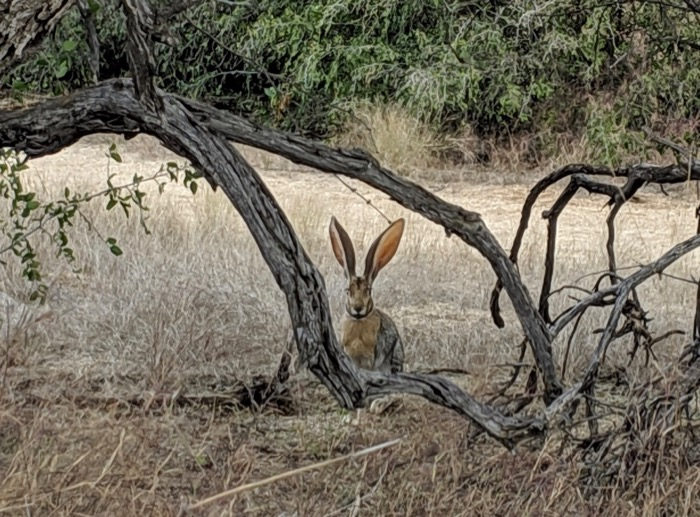 desert jackrabbit in Saguaro National Park