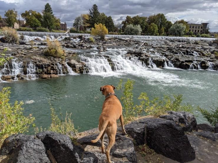 Bugsy at the falls in Idaho Falls, ID
