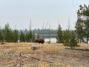 Bison at Goose Lake