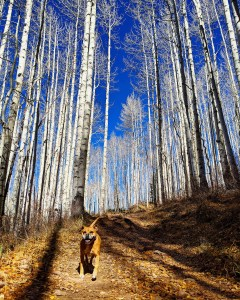 Bugsy hiking in the aspens
