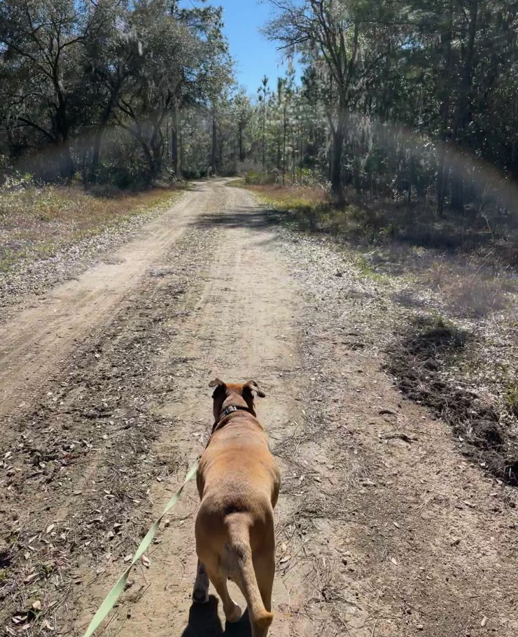 Bugsy walking a trail in Goethe State Forest