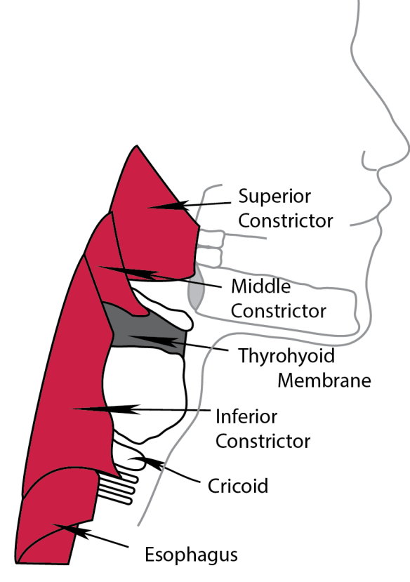 Illustration of the extrinsic muscles of the larynx. From Anyone Can Intubate, 5th Edition