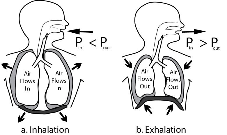Illustration showing the mechanics of breathing Left image shows inhalation. Right shows exhalation