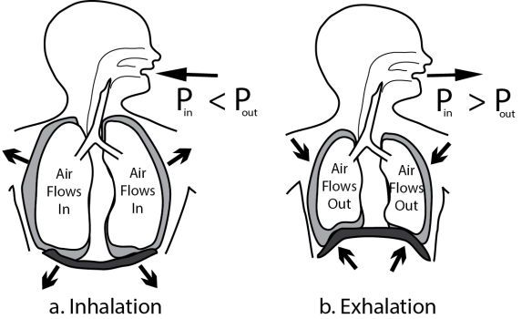 Illustration showing the mechanics of spontaneous ventilation..Contrasts spontaneous breathing showing inhalation vs exhalation