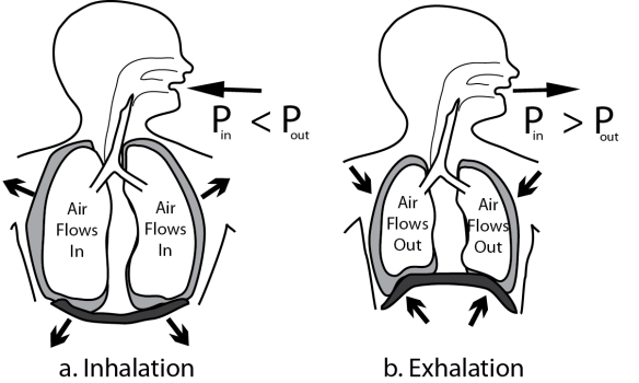 Illustration showing how relaxation and contraction of the diaphragm produces air flow into and out o the lungs by changing air pressure inside the thoracic cavity.
