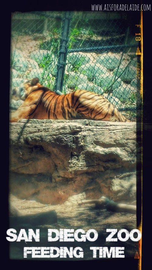 #travel #tiger #sandiegozoo #california #sandiego #travel #aisforadelaide