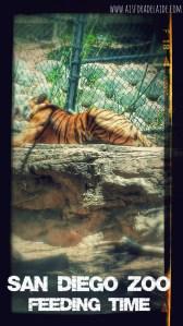 #travel #tiger #sandiegozoo #california #sandiego #travel #aisforadelaide