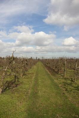 Path along apple orchard