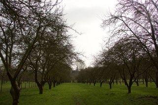 Endless rows of apple trees
