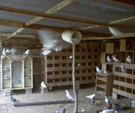 Let's Eat Squab Tonight! This is our pigeon barn