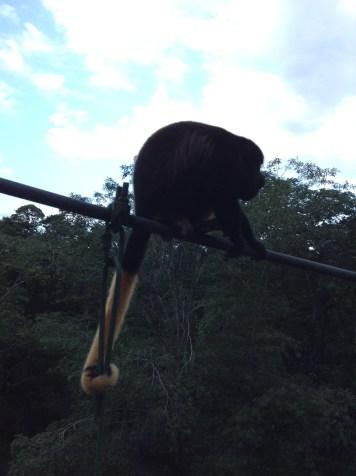 Peroxide howler monkey, La Selva
