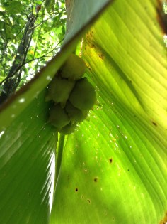Cotton-ball bats, La Selva