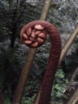 Fern monkey tail, Las Cruces