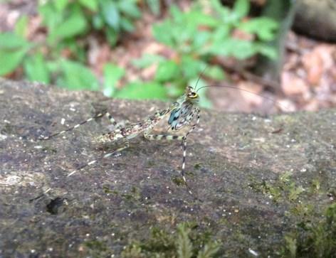 Moss mantis, Corcovado
