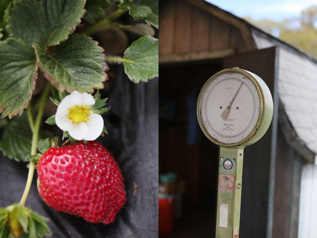 best of beaufort, sc: strawberru picking family fun- healthy ai blog