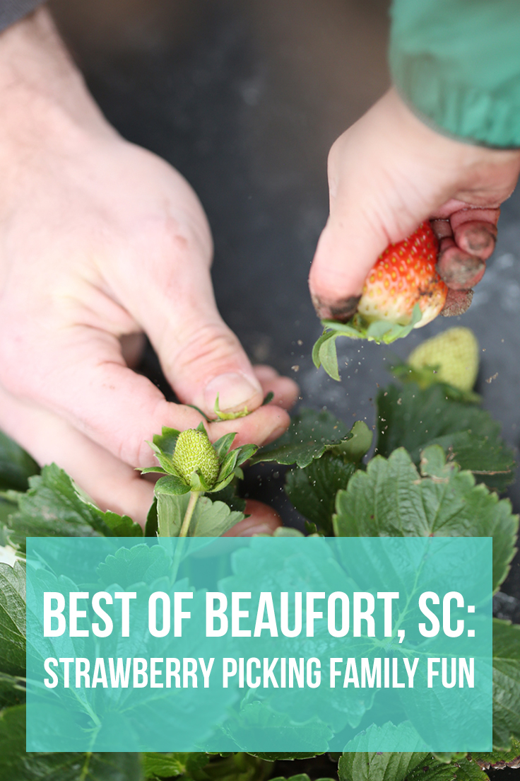 best of beaufort, sc: strawberry picking family fun- healthy ai blog