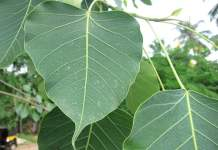 peepal-tree-information-in-Hindi