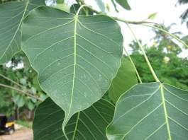 peepal-tree-information-in-Hindi