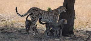 two young cheetahs with mother tanzania private safari