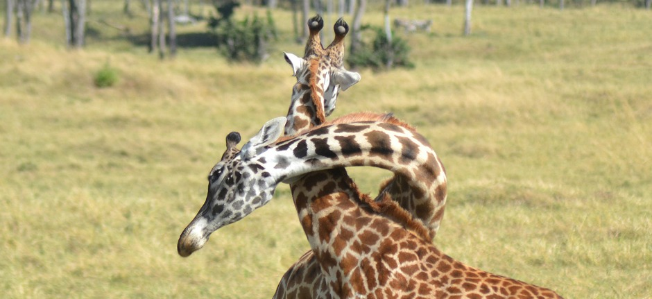 two giraffes necks tanzania private safari