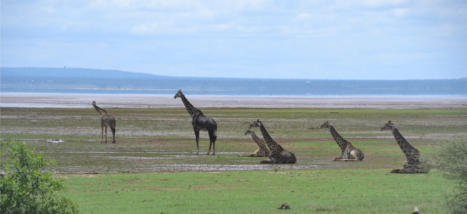 giraffes manyara lake view great rift valley tanzania private safari