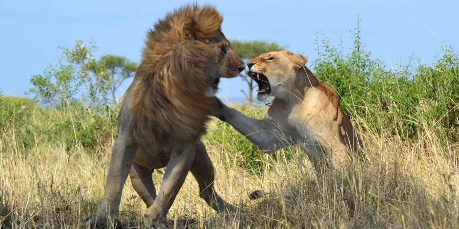 lion king fight serengeti tanzania private safari