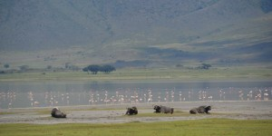 buffaloes ngorongoro crater lake wildlife tanzania private safari