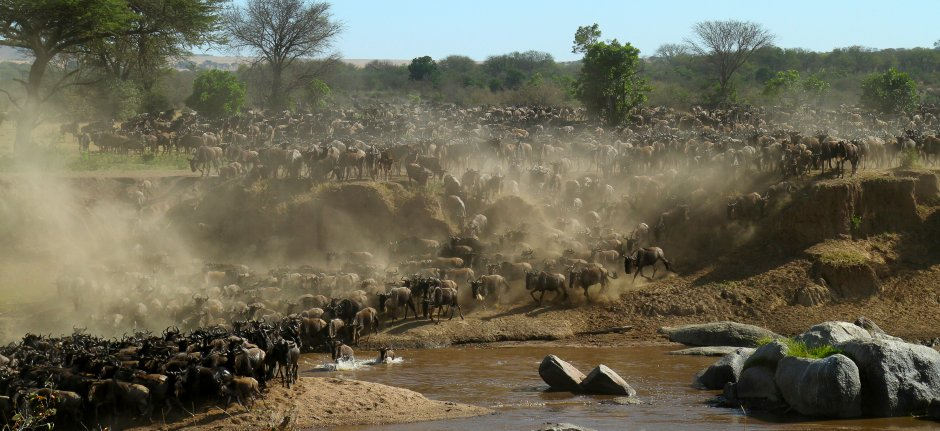 Millions of wildebeest migrate through the Serengeti National Park