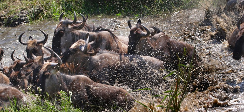 Wildebeest migration crossing Grumeti River western Serengeti