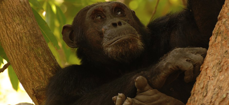 Track chimpanzees in Gombe Stream National Park