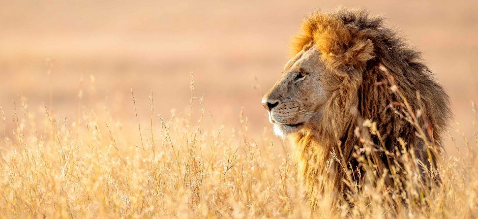 Male lion in Ngorongoro, conservation by KopeLion