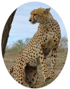 Cheeta in Serengeti National Park