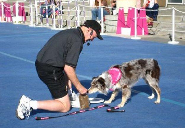 Anjing Border Collie adalah anjing yang pandai