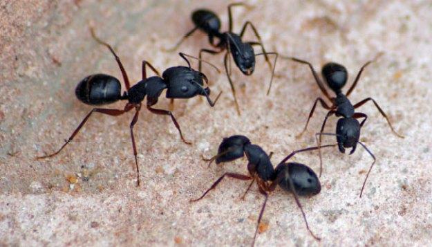 Semut mati melepaskan zat kimia