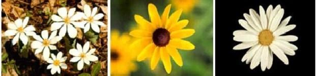 Jumlah Daun pada Bunga (petals)