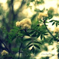 rowan © Annie Japaud Photography
