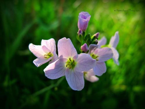 spring flower © Annie Japaud Photography