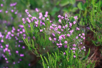 Heather blossoms