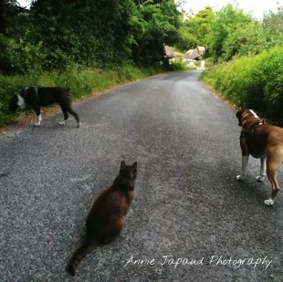 two dogs and a cat out for a walk