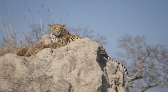 Eileen Nixon_Leopard