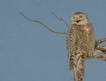 Snowy Owl on her perch