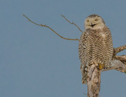 Snowy Owl on her perch