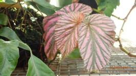 Varigated Leaves