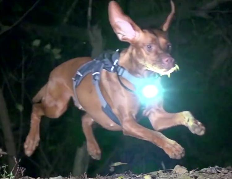 A dog with a Piko 4 light strapped to his chest, enjoying a night time run! Photo from a still from Bike Radar's awesome video about Ruby the dog. Check out Bike Radar's YouTube channel here