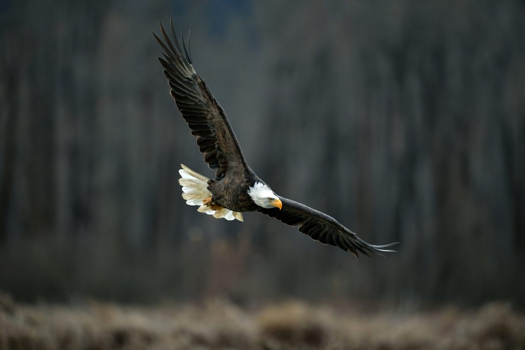 Bald eagle in flight, dark background. Chilkat River, Alaska.