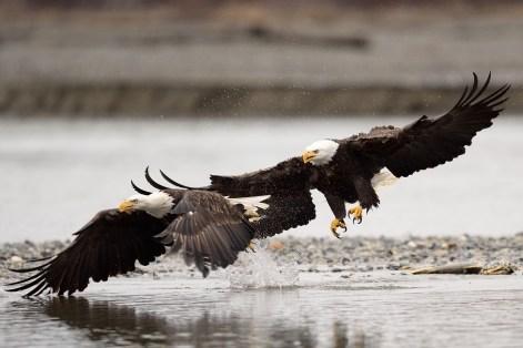Chilkat bald eagle preserve photo workshop