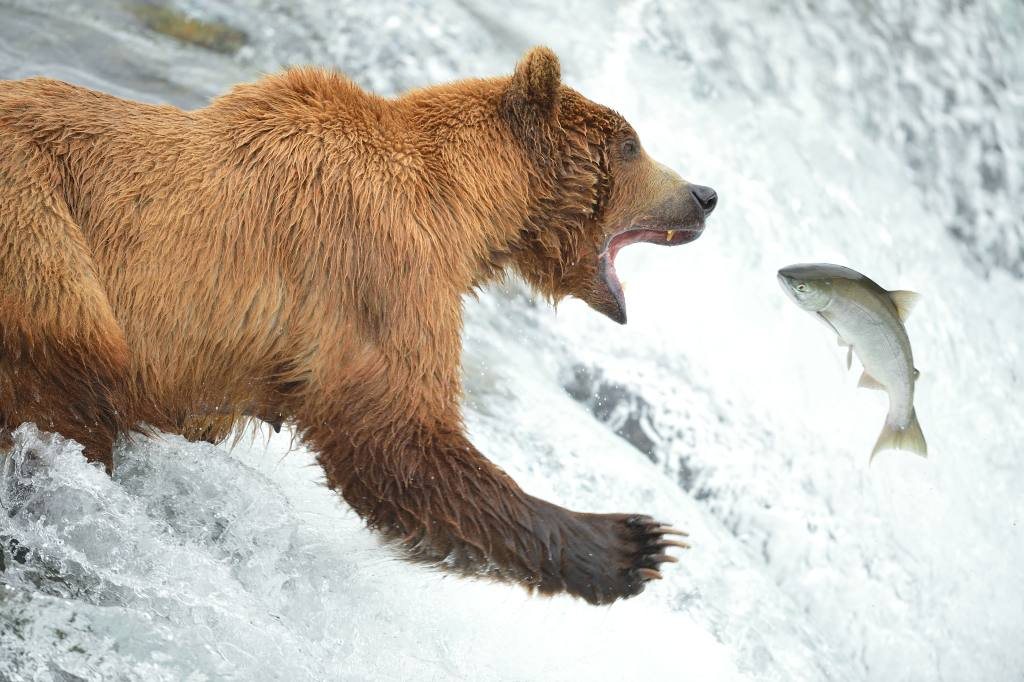 Brooks Falls Salmon Fishing Brown Bear.