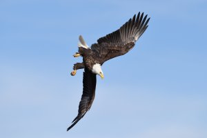 CAMERA SETTINGS FOR BALD EAGLE PHOTOGRAPHY – LESSON #4 OF 5